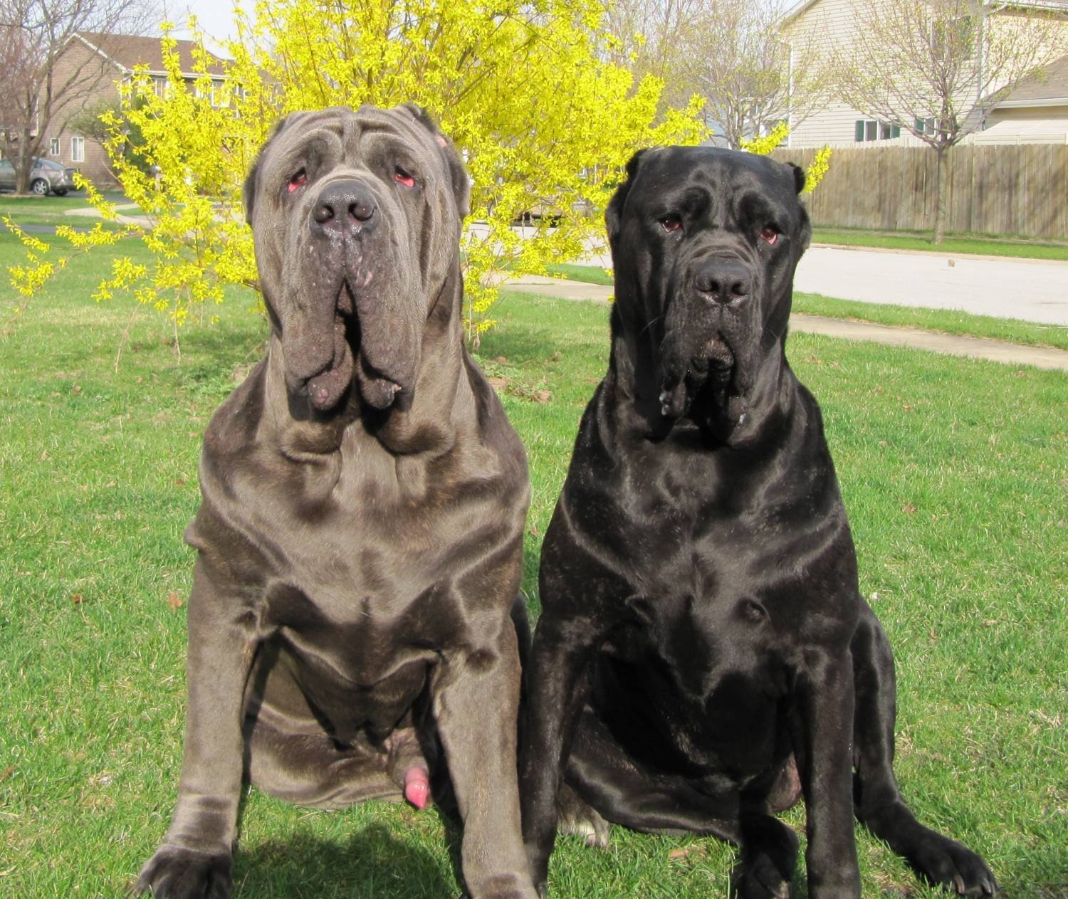 Italian Mastiff Neapolitan mastiff - our dogs